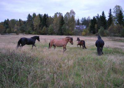 Hesteslipp-6